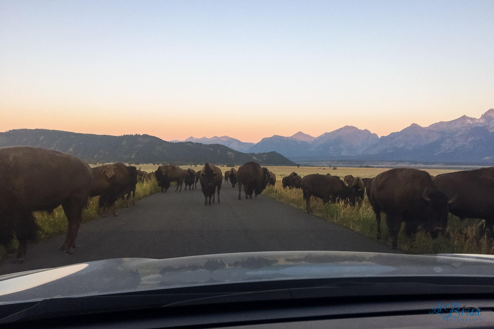 Wyoming Bison Traffic Jam